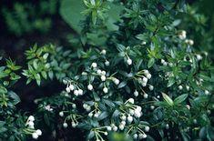 gaultheria mucronata 'bells seedling' - achat pot 3L, 9,80 €, le 10/05/2014, Botaniques Du Val Douve. Petit arbuste à feuilles persistantes, luisantes et terminées par une pointe dure. Variété hermaphrodite. En mai-juin, fleurs, en forme d'urne, blanc rosé, suivit de fruits rouges carmins. Port érigé. Sol acide, humifère, au soleil ou à mi-ombre. Plante à baies attractives mais toxiques. Primée par la Société Royale Horticole