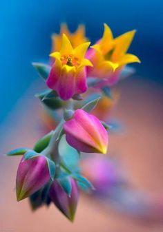 ~~Echeveria feeling so sad by alan shapiro~~ flowers Unusual Flowers, Rare Flowers, Amazing Flowers, Colorful Flowers, Beautiful Flowers, Rainbow Flowers, Rainbow Succulent, Feeling Beautiful, Orchid Flowers