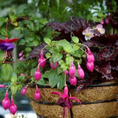container gardening picture of fuchsia and begonia hanging basket - Photograph © Kerry Michaels