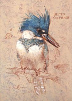 Belted Kingfisher, original watercolor painting, 12 X 9 in, bird . Wildlife Paintings, Wildlife Art, Animal Paintings, Bird Paintings, Bird Artwork, Bird Illustration, Watercolor Bird, Bird Prints, Beautiful Birds