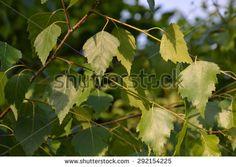 birch leaves - stock photo