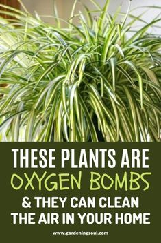 Best Indoor Plants, Indoor Garden, Garden Plants, Outdoor Gardens, Oxygen Plant, Household Plants, Inside Plants, Garden Yard Ideas, Raised Garden Beds