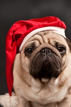 Pug Christmas Card #dogsofpinterest