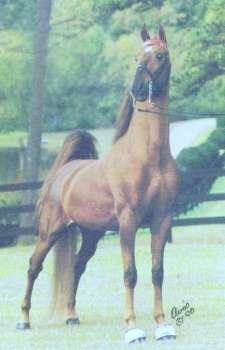 Merchant Prince, American saddlebred stallion from Happy Valley Farm.