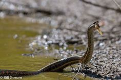 New Mexico Garter Snake eating stranded fish. by Bill Gorum on 500px