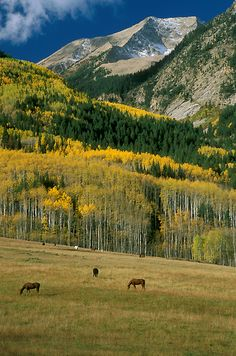 Autumn photograph of horses in a meadow with a forest of golden aspen and spruce behind them, the image is topped by Chair Mountain and located near Marble, Colorado, USA