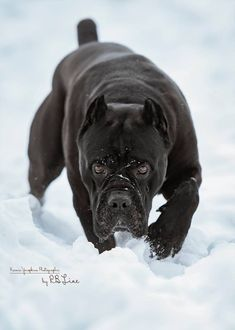All the things we all like about the Great Dane Cane Corso Mastiff, Cane Corso Dog, Cane Corso Puppies, Big Dogs, Cute Dogs, Dogs And Puppies, Italian Mastiff Dog, Beautiful Dogs, Animals Beautiful