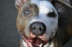 Carter- male american staffordshire terrier in New Canaan, CT