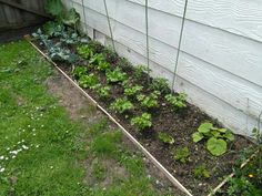 Just under one month since I started my veggie garden. Plants growing well.