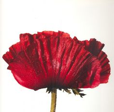 Reads: Flowers by Irving Penn | irving penn, still life photography, flowers irving penn, fashion photography, reads | Glasshouse Journal