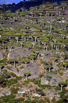 A remnant forest of endemic dragon's blood trees on the island of Socotra, Yemen ~ UNESCO World Heritage Site. Photo: Trevor Cole via Socotra, Dragon Blood Tree, Dragon Tree, Weird Trees, Dame Nature, Unique Trees, Tree Forest, Forest Art, Nature Tree
