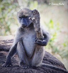 Chacma Baboon Ape Monkey, Out Of Africa, Baboon, Primates, Drills, Monkeys, Cousins, Old World, Animals Beautiful