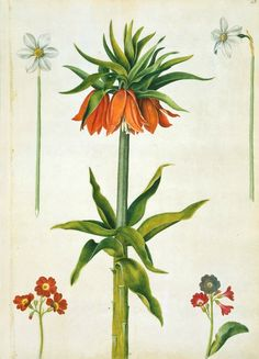 Alexander Marshal (c. 1620-82), Narcissus and Poet's Narcissus, Crown Imperial and Auricula, c.1650 – 82. Watercolour and bodycolour, 45.7 x 32.9 cm, RCIN 924280. Royal Collection Trust / © Her Majesty Queen Elizabeth II 2016