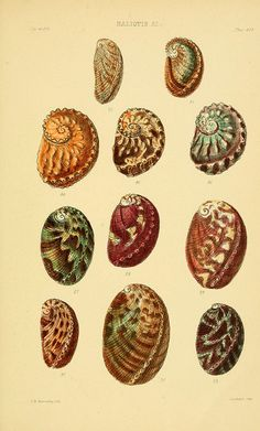 Thesaurus conchyliorum, or, Monographs of genera of shells v.5 plates.  London :Sowerby ...,1847-1887. From the Biodiversity Heritage Library