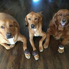 @borithegoldenfamily hit 8,000 subscribers!!!  Woohoo! They stopped by the store and picked up some Woof Creme Pies to celebrate Congrats and enjoy!!