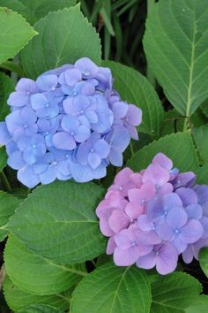 hydrangeas Flower Images, Flower Pictures, Flower Art, Hydrangea Garden, Hydrangea Flower, Flowers Nature, Tropical Flowers, Blue Flowers, Beautiful Flowers