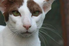 猫, 目, オリエンタルショートヘアー, 毛皮, 魅力的です, かわいい, 動物, 美しい, 肉食獣
