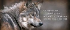 Conserving endangered wolves helps protect our last great wilderness. Endangered Wolf Center