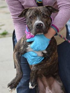 GONE --- TO BE DESTROYED  - 11/09/14 Brooklyn Center ***NEW PHOTO***  My name is TIGRESS. My Animal ID # is A1019411. I am a spayed female black and white pit bull mix. The shelter thinks I am about 1 YEAR   **$150 DONATION to the NEW HOPE rescue that pulls!!**   I came in the shelter as a OWNER SUR on 11/01/2014 from NY 11208, owner surrender reason stated was MOVE2PRIVA.   https://www.facebook.com/photo.php?fbid=902083993137814