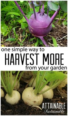 Harvest more from your vegetable garden with succession planting.