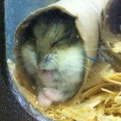 Russian Winter White Dwarf Hamster