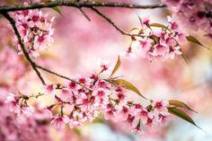 Pink Cherry Blossom in Thailand Methee Laowathanatawon