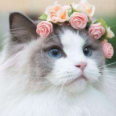 Princess Aurora - A Photogenic Cat Royalty Plus - .-- Princess Aurora – A Photogenic Cat Fee Plus – Wolverine Xmen, Poodle, Cross Stitch Kits Uk, Owning A Cat, Prince, Cat Dog, Flower Hats, Fluffy Cat, Cat Breeds