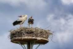 Bird Love - Two storks breed.