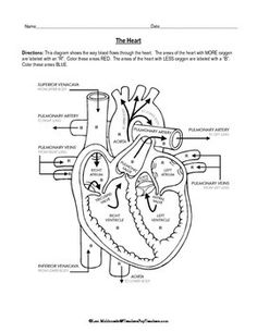 Draw It Neat How To Draw Internal Structure Of Human Heart Easy