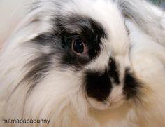 An unusual view of cutie Beau #EinsteinandBeau #lionhead #lionheadbunny #lionheadrabbit #conejo #coniglio #lapin #kanin #kaninchen #usagi #cutepets #cutebunny #weeklyfluff #furbaby #instabunny #instarabbit #housebunny #houserabbit #rabbit #rabbits #rabbitstagram #rabbitsofinstagram #bunny #bunnies #bunnylove #bunnystagram #bunniesworldwide #bunniesofinstagram #adoptdontshop by mamapapabunny