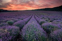 Lavender fields at Young Living Farm  My name is Jody Whitehouse YL member#1548197  I am passionate about the life-changing power of our God-given Young Living therapeutic-grade essential oils. I will NOT rest until my team and I have shared them with EVERYone EVERwhere. When will YOU join Team Whitehouse?  www.whitehousewellness.net www.facebook.com/whitehousewellness Young Living Oils, Young Living Essential Oils, Ovarian Cyst Symptoms, Tinnitus Symptoms, Adhd Symptoms, Essential Oil Brands, Asthma Remedies, Before Midnight, Free Plants