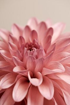 Like this color of dahlia. these would make a pretty center piece DAHLIA! Amazing Flowers, My Flower, Pretty In Pink, Pink Flowers, Beautiful Flowers, Dalia Flower, Beautiful Gorgeous, Simply Beautiful, Deco Floral