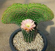 Merhaba I love you cactus Weird Plants, Unusual Plants, Rare Plants, Exotic Plants, Cool Plants, Succulent Gardening, Cacti And Succulents, Planting Succulents, Planting Flowers