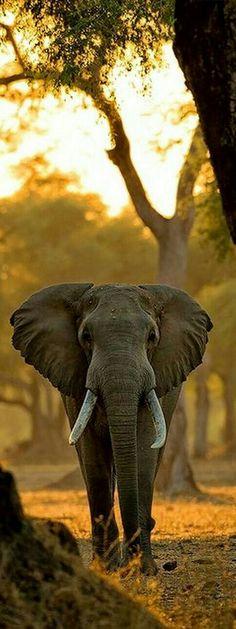 African elephant. More