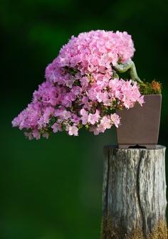 Satsuki in Flower