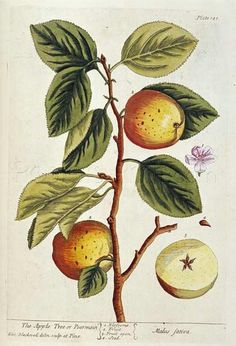 Apple Tree Giclee Print Poster by Elizabeth Blackwell Online On Sale at Wall Art Store – Posters-Print.com