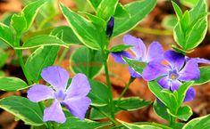 Salvia, Health Fitness, Paradis, Medicine, Green, Diet, Plant, Canning, Sage