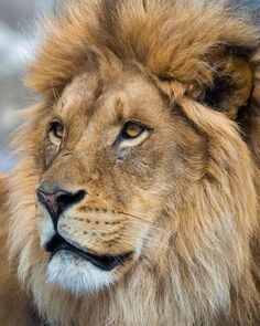 Portrait of a Lion Lion Photography, Wild Animals Photography, Lion Images, Lion Pictures, Animals And Pets, Baby Animals, Cute Animals, Lions Photos, Lion And Lioness