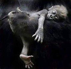 Gorgeous gorilla baby photograph CREANAVT
