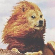 wow many fotoshap, such lion, so doge