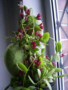 Dischidia pectinoides ... een plantje dat mij blijft intrigeren!