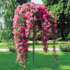 weeping tree roses available in white, hot pink, and light pink on sale right now for $39.95.