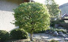 10 Tipps rund um Bäume im Garten -  Ohne größere Gehölze im Garten fehlt die räumliche Wirkung. Bei der Auswahl geeigneter Arten ist jedoch einiges zu beachten, damit der Hausbaum den Garten wirklich bereichert und nicht zum Problemfall wird.