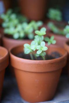 Zinnia seedlings - Ingrid Jansen