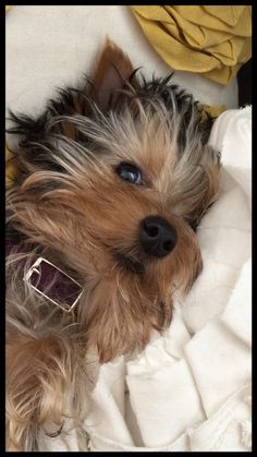 Baby Animals, Funny Animals, Cute Animals, Dog Love, Puppy Love, Cute Puppies, Cute Dogs, Yorshire Terrier, Yorkshire Terrier Puppies