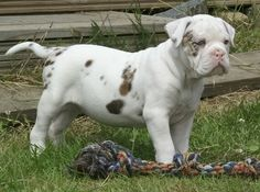 Alapaha Blue-Blood Bulldog - Questions Answered Here - Doggie Woof American Bulldog Puppies, French Bulldog Puppies, Frenchie Puppies, American Bulldogs, Beautiful Dogs, Animals Beautiful, Happy Animals, Cute Animals, Blue Blood Bulldog