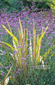 YELLOW AND PURPLE: New Zealand flax and Verbena bonariensis, nice combination, ready for spring