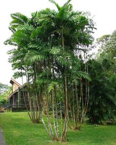 If low maintenance is your thing, consider a macarthur palm — they practically thrive on neglect! Partial shade or full sun will do. Just water occasionally and you're good to go. Tropical Backyard, Tropical Landscaping, Landscaping With Rocks, Landscaping Tips, Tropical Plants, Tropical Gardens, Tropical Flowers, Garden Landscaping, Pool Landscape Design