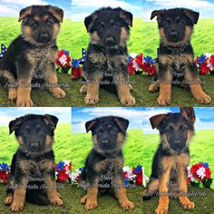 Top Quality German Shepherd Puppies available!