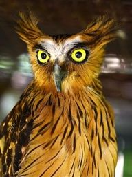 buffy fish owl